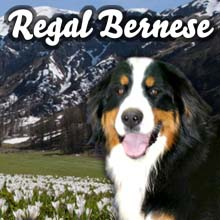 Majestic Bernese Mountain Dogs